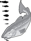 Fish. Set of a variety of fish. Vector illustration of a fish. Black and white royalty free illustration