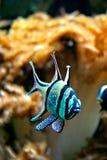 Fish. A fish in an aquarium tank Royalty Free Stock Photo