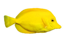 Fish. Yellow fish isolated on white royalty free stock photos
