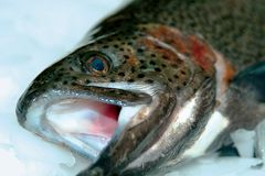 Fish. Trout fish royalty free stock image