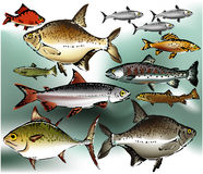 Fish. Collection of colored fish - vector illustration Royalty Free Stock Image