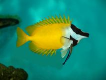 Fish. Yellow fish with spikes, on blue background Royalty Free Stock Image
