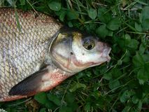 Fish. Bream on the green grass Stock Photos