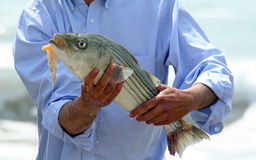 Fish. A man wearing a light blue shirt holding a just caught striper fish in his hands Stock Photo