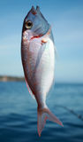 Fish. This is a photo of hooked fish with sea on the background royalty free stock photos