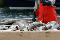 Fish. Erman at work - fresh cod Royalty Free Stock Images