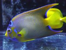 Fish. Tropical Fish,corall fish,Sea Angel Stock Photos
