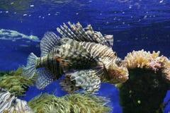 Fish. Terrible fish in the aquarium Royalty Free Stock Photo