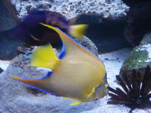 Fish. Yellow fish at the bottom of an aquarium Royalty Free Stock Images