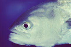 Fish. A close up of a beautiful silver fish.  Chips optional Stock Image