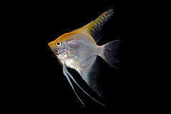 Fish. The yellow-silvery fish is photographed close-up Royalty Free Stock Image