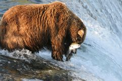 Fish In. A brown bear who has just caught a salmon Stock Photos