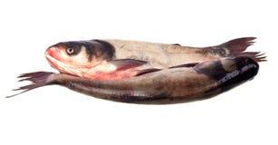Free Fish Stock Photography - 16134282