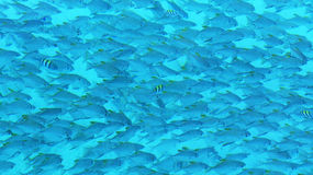 Fish. Varieties of fish swim underwater royalty free stock photos