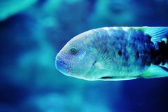 Fish. A fish swims in blue water royalty free stock photography
