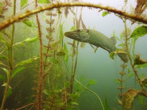 Fish. An adult luce during hunting Royalty Free Stock Photography
