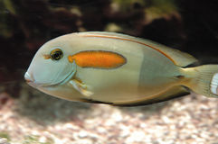 Fish. With orange spot Stock Photography