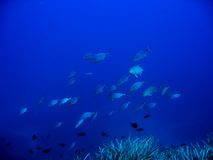 Fish. A covey fish in a blue ocean Royalty Free Stock Image