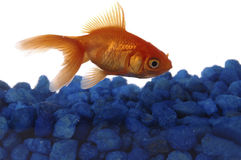 Fish. A goldfish skims over some blue rocks at the bottom of an aquarium stock photos