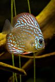 Fish. Discusfish swimming in my aquarium Stock Photos