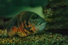 Fish. Fat fish Stock Image
