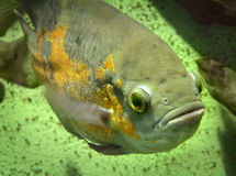 Fish. Nice fish in the aquarium Stock Photos