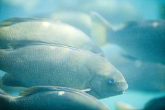 Fish. A school of fish looking for food Royalty Free Stock Photos