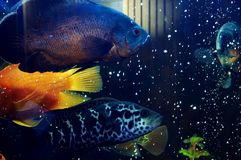 Fish. Golden and blue fish in tank Stock Photos