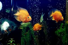 Fish 2. Golden and blue fish in tank Royalty Free Stock Photos