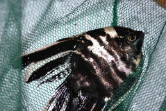 Fish. One striped angelfish in the green net Royalty Free Stock Images