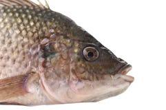 Fish. Vertical studio shot of a raw fish Stock Images