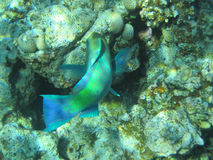 Fish. Scuba diving photo fish picture taken in red sea Royalty Free Stock Photos