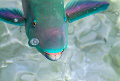 Fish. Smiling fish with big teeth and pink lips stock photos