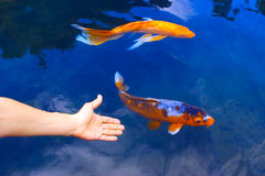 Fish. Big golden fish in clear blue water Stock Photos