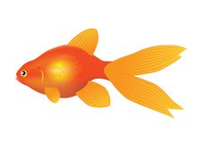 Fish. Goldfish on a white background Stock Photo