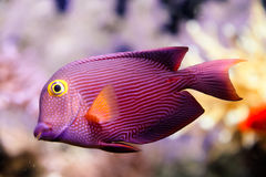 Fish. Red fish with white dot and lines Stock Photos