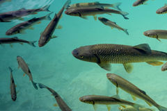 Fish. The fish in lakes in Plitvice Stock Photos