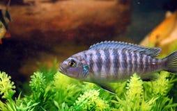 Fish. Navy Blue Cichlid Royalty Free Stock Photo