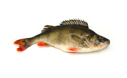 Fish. Big perch isolated on white background. Big riwer fish Royalty Free Stock Photos