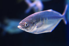 Fish. Close-up of fish in water, illuminated by light Stock Photo