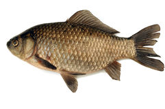 Fish. Bass royalty free stock photos
