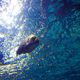 Fish. A big fish swimming under water in the blue sea in atmospheric light because  the sun is shining through the surface Stock Photo