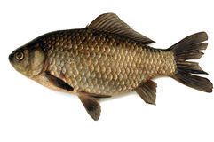 Fish. Bass stock image