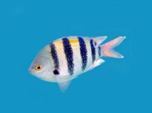 Fish. One fish isolated on blue royalty free stock image