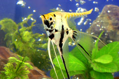 Fish. Beautiful tropical fish in a aquarium Stock Image