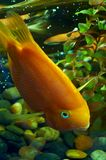 Fish 4. Golden  fish in water tank Royalty Free Stock Photo