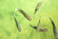 Fish. Lots of big fish swimming together in the green water of a pond outdoors Stock Photo
