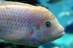 Fish. A Fish Swimming in the tank Stock Images