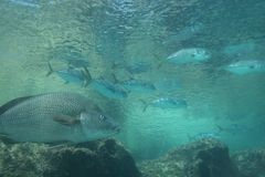 Fish. Tropical fish swimming in the Carribean sea Stock Photography
