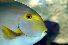 Fish. A fish in an aquarium Royalty Free Stock Photo
